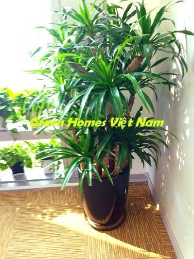 Cây đại lộc - Green Homes Việt Nam