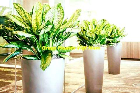 Cho thuê cây ngọc ngân - green homes việt nam
