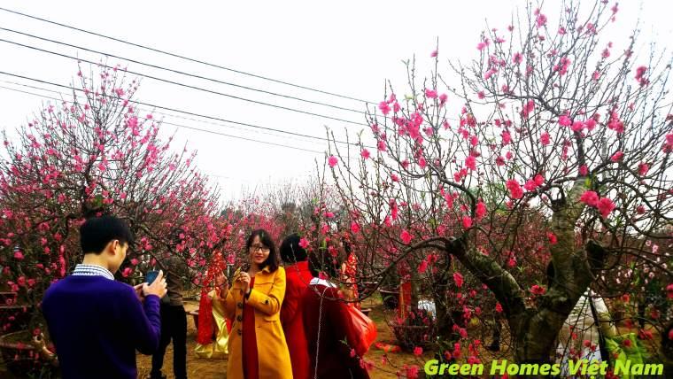 Dịch vụ cho thuê cây đào tết - Green Homes Việt Nam